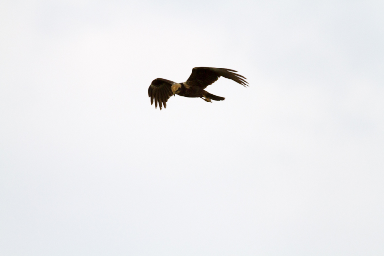 Besoin identification rapace ( appel aux ornitho) IMG_2277